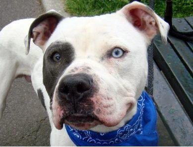 bulldog rescue nj rescue me pookie an american bulldog needs a home new 5875