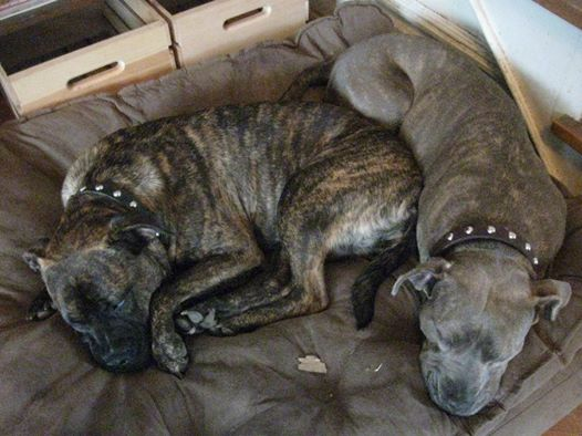 sleepydogs, little and maymay, pit bulls