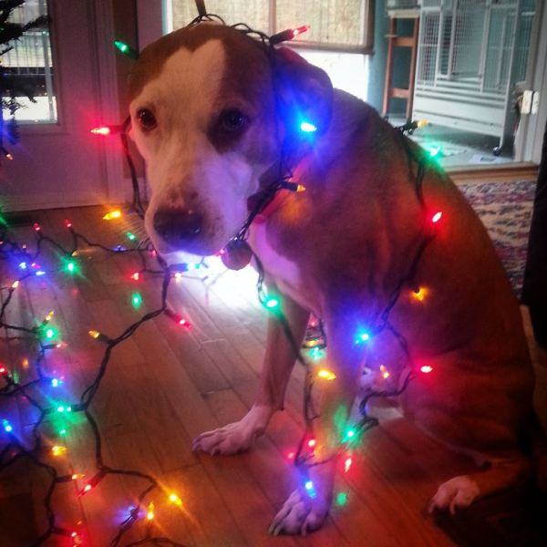 Meet our friend Bettis a sweet, handsome pit bull with a great sense of humor.
